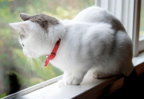В таком ошейнике кошка должна ходить уже до уничтожения блох.